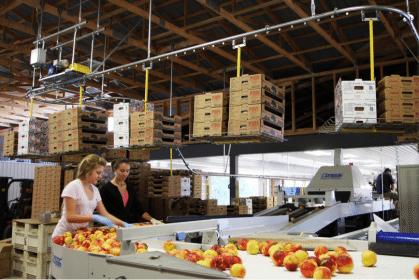 fruit packing operations conveyor
